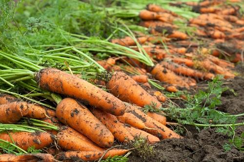 Морковь – полезные свойства